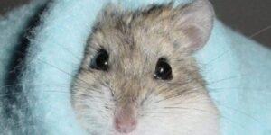 cuanto dura un hamster