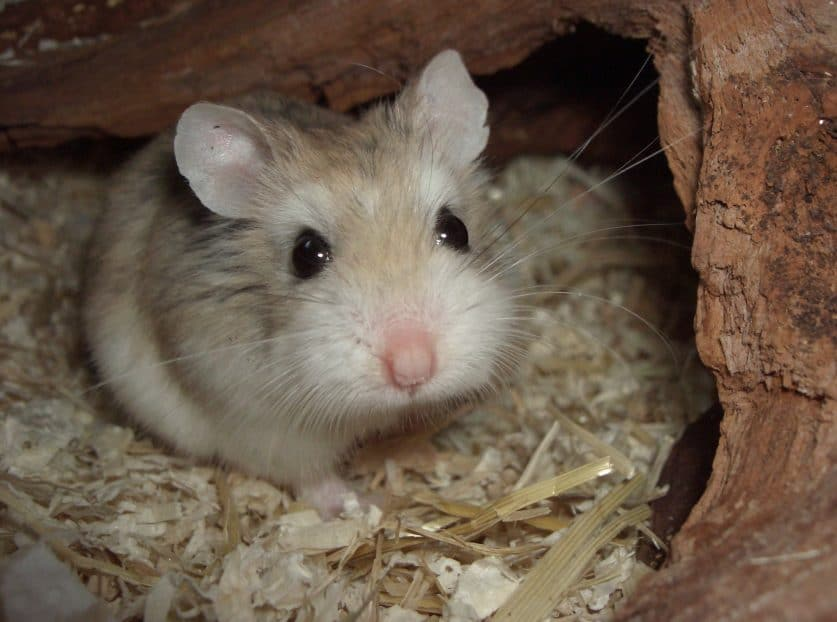 el hamster más pequeño del mundo