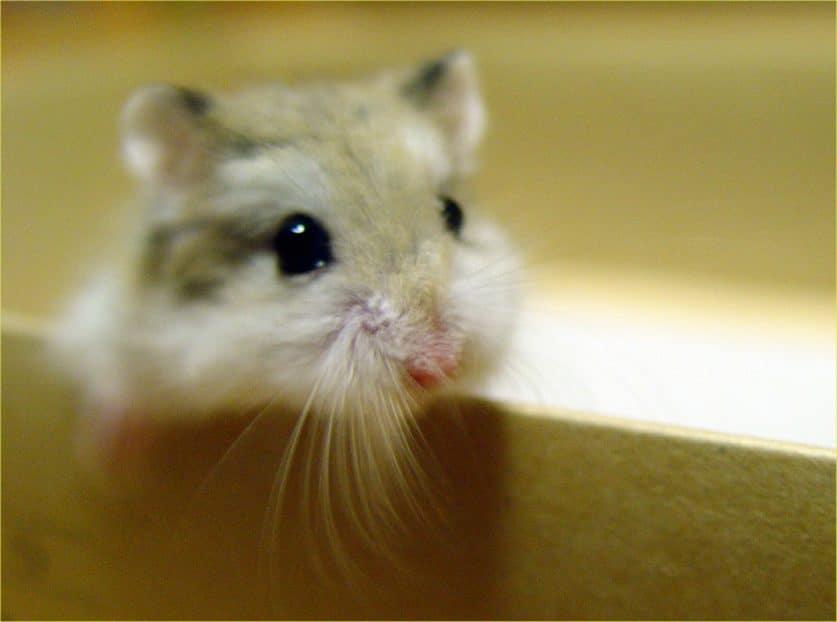 hamster mono
