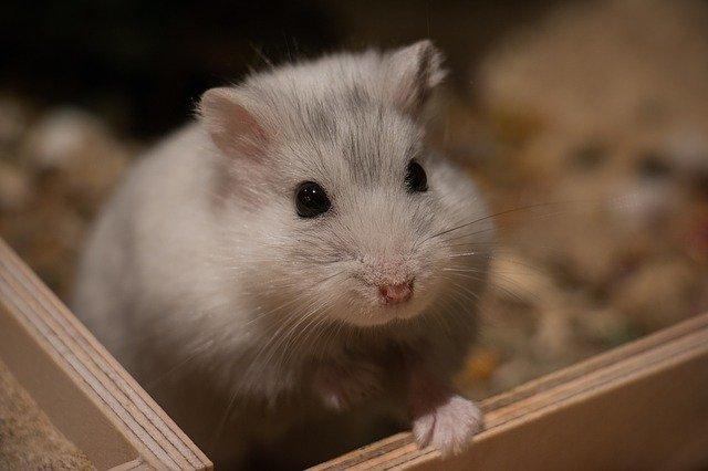 Hámster albino