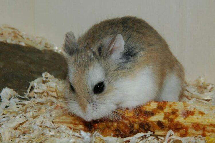 alimentación del hámster campbell