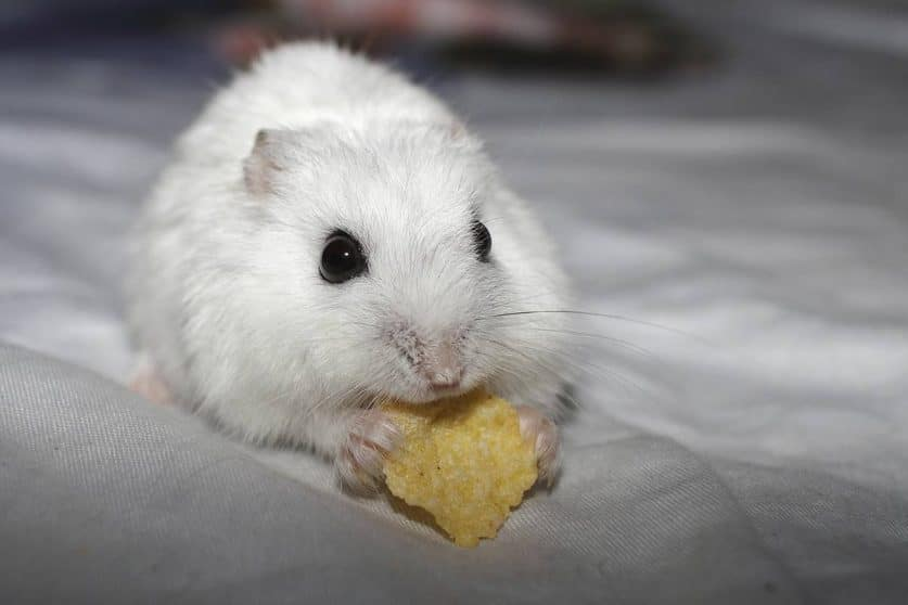 Hámster Cambell albino
