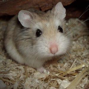 comprar hamster