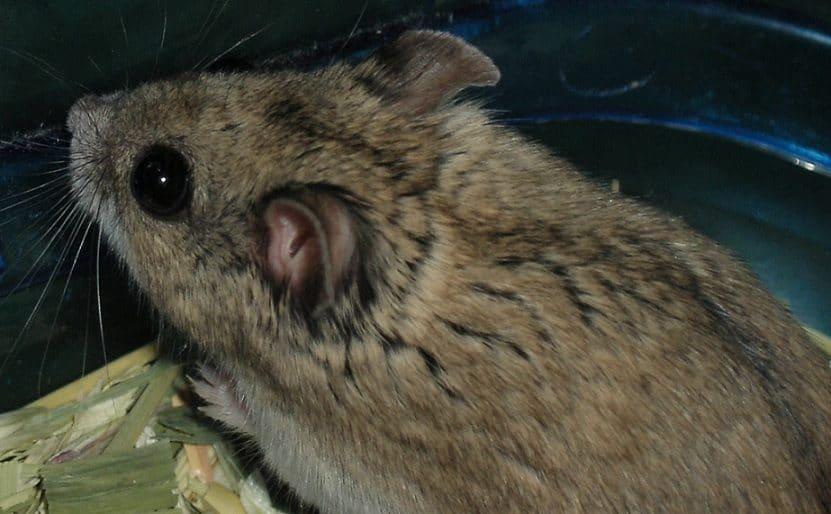 Hamster chino precio