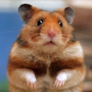 hamster precio
