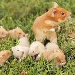 donde comprar hamster
