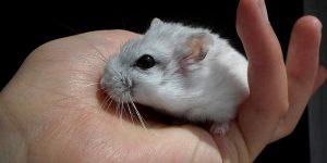 hamster domesticado