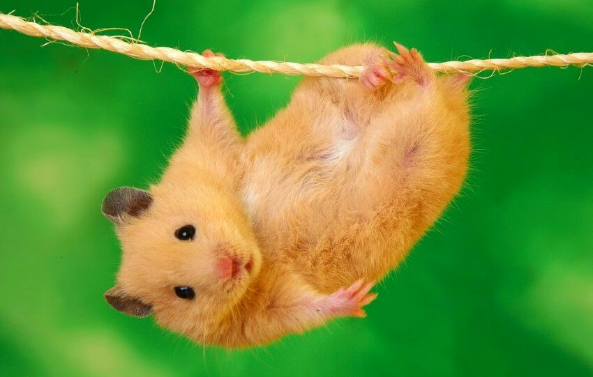 Esperanza de vida de un hamster sirio